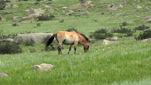 Thumbnail for Wild Przewalski Horse in Moorland