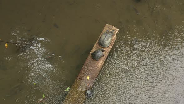 Thumbnail for Close up of yellow spotted river turtle sunbathing on log