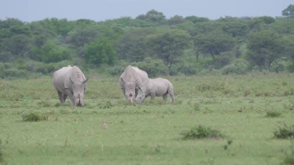 Thumbnail for Herd of rhinos grazing at Khama Rhino Sanctuary