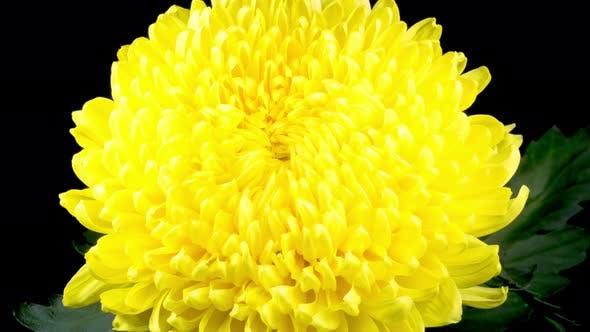 Thumbnail for Beautiful Yellow Chrysanthemum Flower Opening