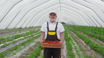 Senior Gardener Posing with Basket of Ripe Strawberries