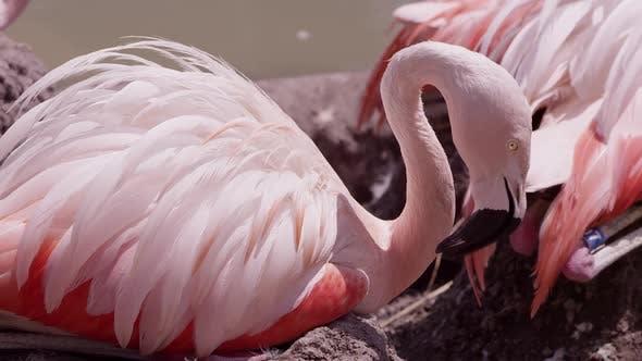 Feathers fluffed on flamingo sittin g in the hot sun