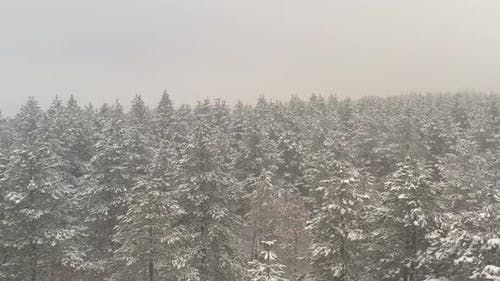Low visibility in the coniferous woods by winter 4K aerial video