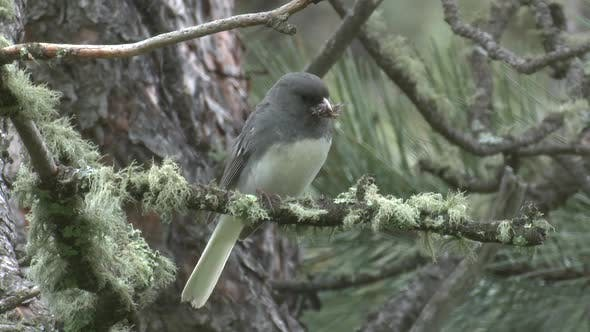 Thumbnail for Junco Adult Lone Predation Kill Capture Carrying in Summer Insects Prey Biocontrol