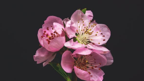 Thumbnail for Peach Blossom on Black
