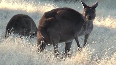 Kangaroo looking up while eating grass in Australia