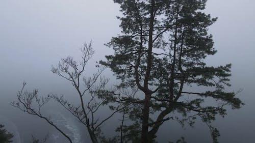 High Carpathian Spruces