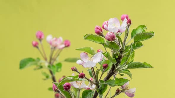 Thumbnail for Fruit Flowers Blooming in Spring Organic Garden