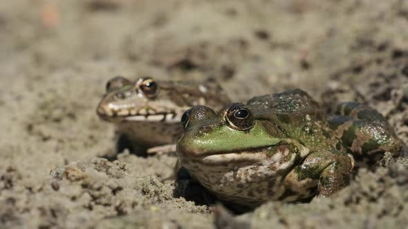Thumbnail for Two Frogs Sit Side By Side on the Sand Near the River Bank. Portrait of Toad