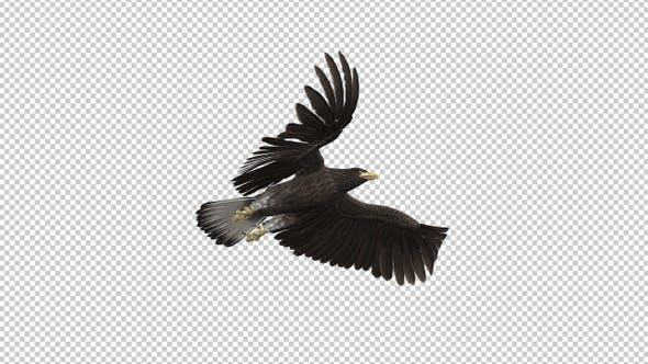 Eurasian White-tailed Eagle - Flying Transition I