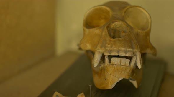 Thumbnail for Skull Of A Gibbon