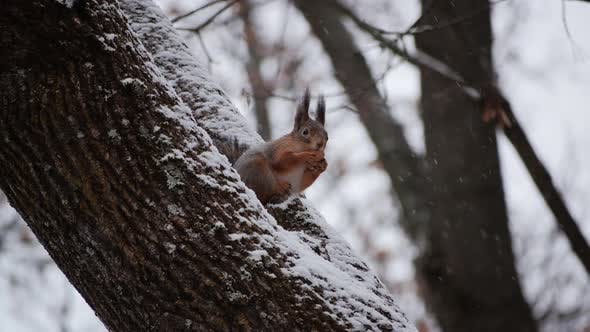 Fluffy Young Squirrel Sitting Tree Branch Winter Forest Eating Nut