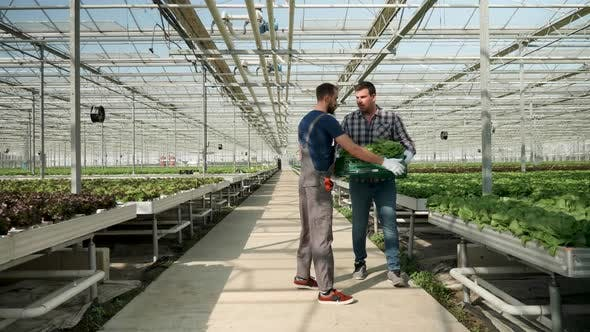 Cover Image for Farm Worker in a Greenhouse Walking with a Box of Organic Green Salad