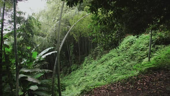 Thumbnail for Bamboo Plantation Grove on Slope Overgrown with Ferns in Tropical Forest. Botanical Garden