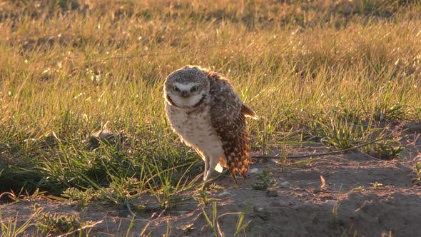 Thumbnail for Burrowing Owl Male Adult Breeding Head Bobbing Display in Prairie in Spring