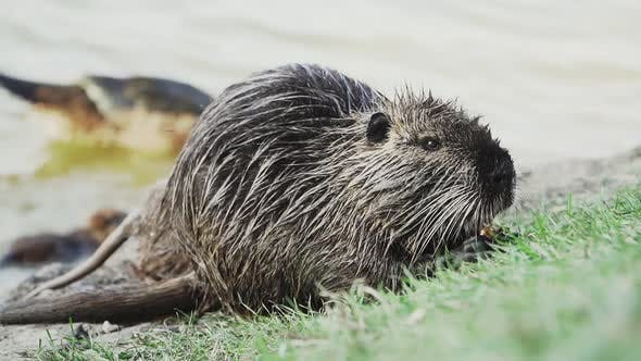 Thumbnail for Nutria Eats on the Lawn in Front of a River