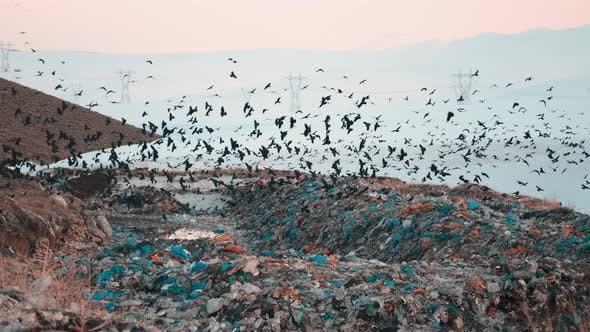 Crows are Flying Overgarbage Hill