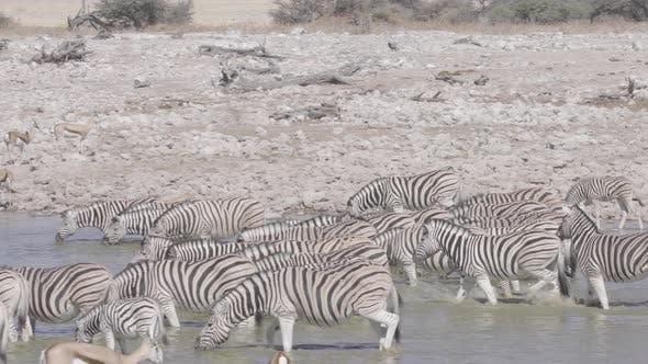 Thumbnail for Zebra Herd Walking Towards Waterhole