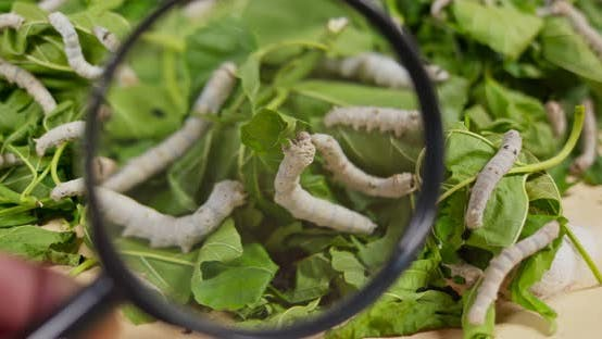 Thumbnail for Close up silkworms on green leaf