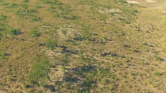 Thumbnail for Aerial drone view of a herd of elephants wild animals in a safari in Africa plains.