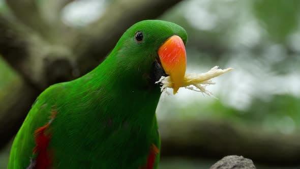 Thumbnail for Eclectus Papagei Essen Zuckerrohr