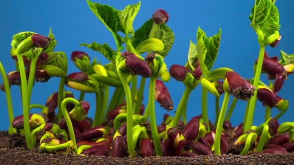 Thumbnail for Beans Germination on Blue Background