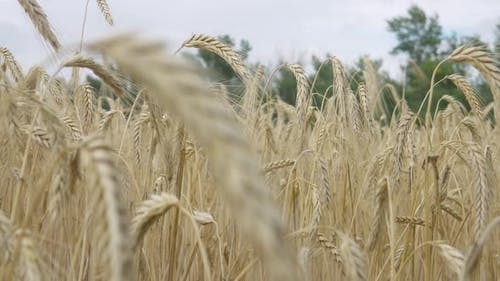 Field Barley in Period Harvest