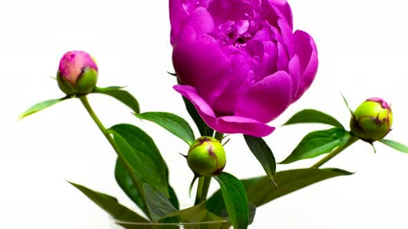 Thumbnail for Beautiful Fluffy Violet Peony Blooming on White Isolated Background