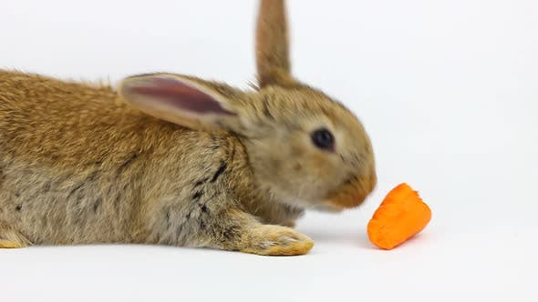 Little Fluffy Cute Brown Rabbit Sits and Eats Orange Fresh Carrots Closeup on a Gray Background