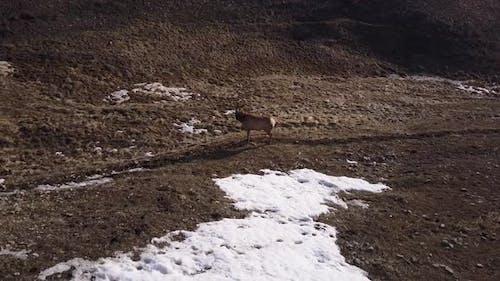 Elk Cow Female Immature Lone Standing Looking Around in Spring in Wyoming