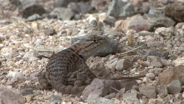 Lizard Lone in Spring in Saguaro National Park Arizona