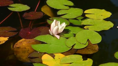 Panning shot of water lilies