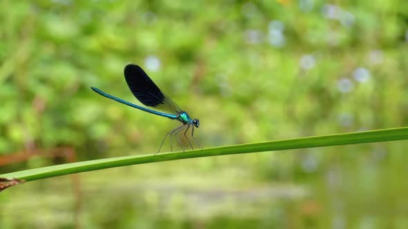 Dragonfly with Blue Wings Sitting on a Branch on a Background of the River