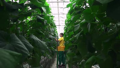 Greenhouse Worker Inspecting Cucumber Plant Growing in Hydroponic Industrial Greenhouse Spbd
