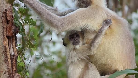 Thumbnail for Gray Langur Semnopithecus, Also Called Hanuman Languria