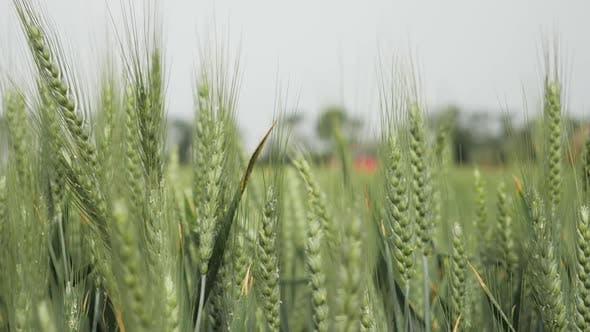 Thumbnail for Wheat