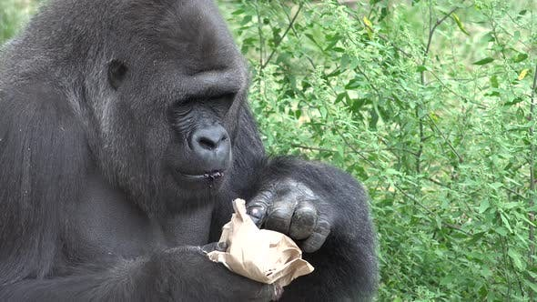 Thumbnail for Western Lowland Gorilla Male Adult Lone Eating Feeding in Summer Bag