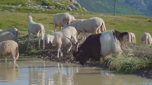 Sheep and a Billy Goat on a Puddle in the Mountains