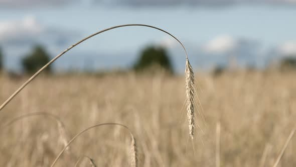 Thumbnail for Ripe Rye Spikelets Blowing in the Wind