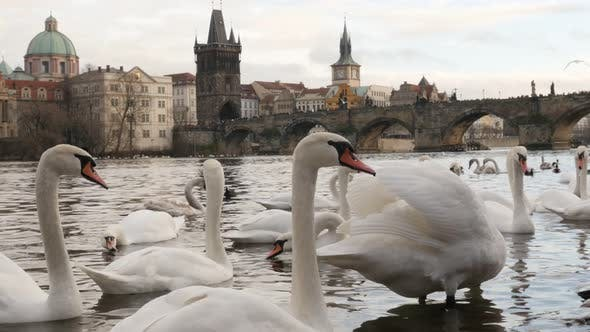 Thumbnail for Czech Republic city of Prague scene with white Cygnus on water  tilting 3840X2160 UHD footage - Swan