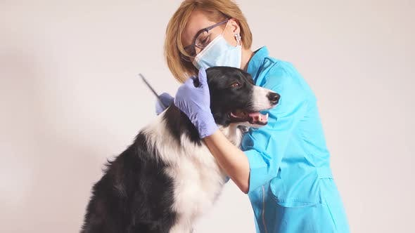 Female Groomer Combs Scotish Dog for a Hairstyle in the Room