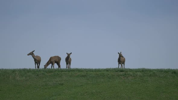 Thumbnail for Deer on a field
