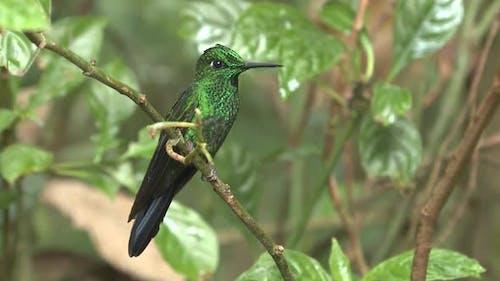 Green-crowned Brilliant Hummingbird Male in Costa Rica