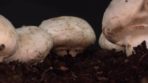 Cultivated Mushroom