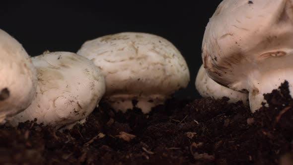 Kultivierter Pilz