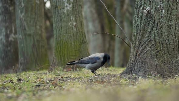 Le corbeau à magpie grise cache de la nourriture dans le sol près de l'arbre
