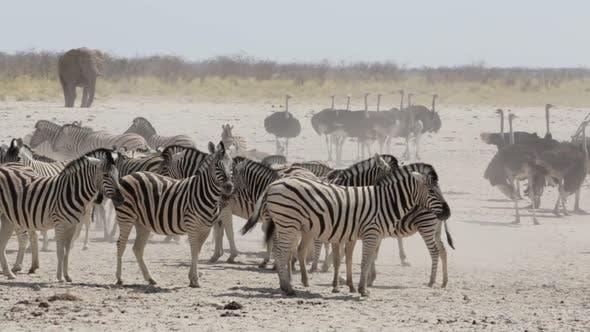 Crowded waterhole with zebras and osrtich. Etosha