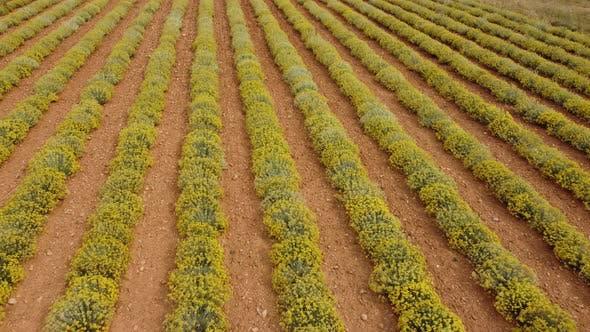 Helichrysum Italicum Herb Agriculture