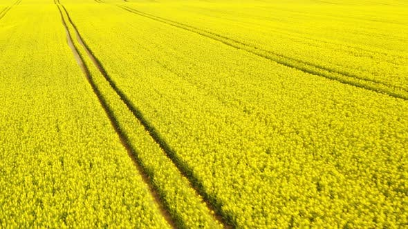 Thumbnail for Canola Fields in Broad Daylight