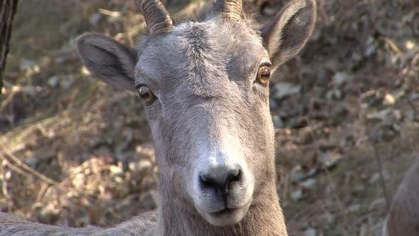 Bighorn Sheep Ewe Female Adult Lone Alarmed Nervous Wary in Winter